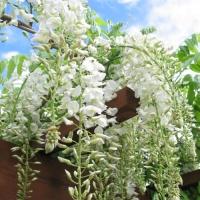 Fehér virágú lilaakác