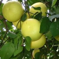 Citrus grandis  Citrus paradisi,Oroblanco, Sweetie