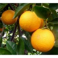 Narancsfa