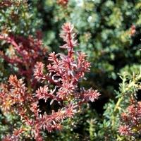 Vörös Japán kőtiszafa