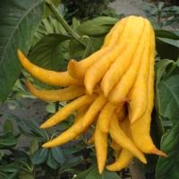 Buddha keze citrom, újjas cédrát