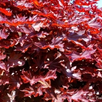 Vörös levelű juhar