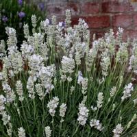 Hófehér virágú levendula