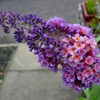 Illatos, kékes-lila virágú nyáriorgona