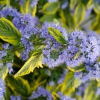 Tarka levelű kékszakáll