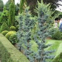 Kék libanoni cédrus ( Oltvány növények)