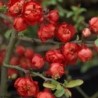 Telt virágú Japánbirs