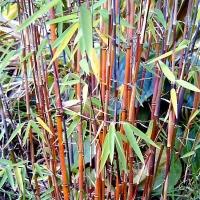 Fargesia species 'Jiuzhaigou 1 '
