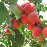 Kajszi Orangered