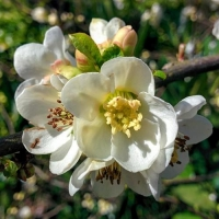 Jet Trail , fehér virágú japánbirs