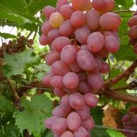 Katharina rezisztens csemegeszőlő