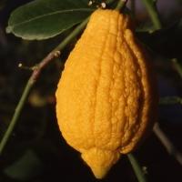 """Citrus limonimedica """"Rugoso"""""""