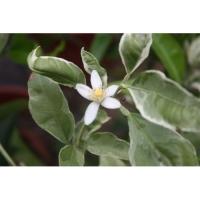 Citrus macrophylla 'Variegata'
