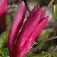 Magnolia, liliomfa
