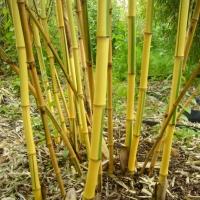 Zöld-sárga csíkos neonszárú bambusz
