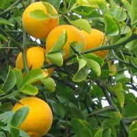 Vadcitrom, Télálló citrom 5 db