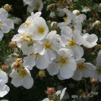 Fehér virágú, cserjés pimpó