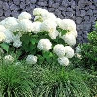 Fehér, gömb virágú hortenzia