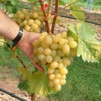 Arkadia rezisztens csemegeszőlő