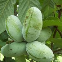 Indián banán oltvány