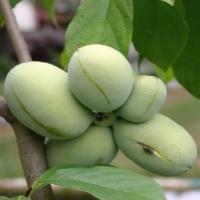 Indián banán, Paw-paw