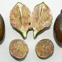 Microcitrus papuana