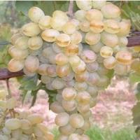"""""""Belgrádi fehér"""" magvatlan szőlő"""