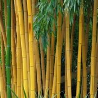 Aranysárga szárú bambusz