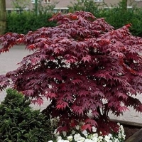 Vörös levelű japán juhar