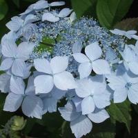 Kék virágú hortenzia