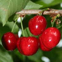 Black Star cseresznye