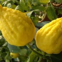 """Citrus limonimedica """"Florentina"""", Cedrato di Firenze"""