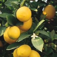 Citrus x Meyeri '48'