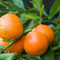 Magnélküli mandarin