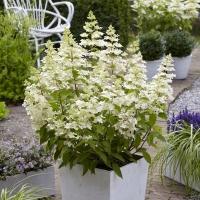 Fehér, óriás virágú hortenzia