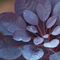 Bordó levelű törpe cserszömörce