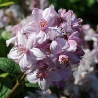 Rózsaszín, telt virágú gyöngyvirágcserje