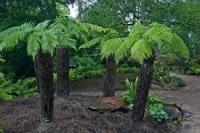 Ausztrál páfrányfa, Óriás páfrányfa