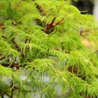 'Emerald Lace' japánjuhar