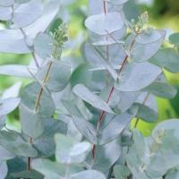 Tasmániai vagy havasi eukaliptusz