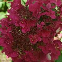 Wim's Red bugás hortenzia