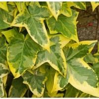 Sárga-tarka levelű borostyán