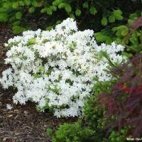 Fehér virágú japán azálea