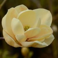 Honey Tulip liliomfa