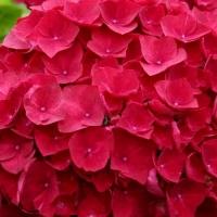 Piros virágú hortenzia