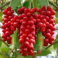 Ötízű gyümölcs, Kínai kúszómagnólia