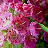 Pompás hegyi rododendron