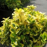 Sárga-tarka Japán kecskerágó