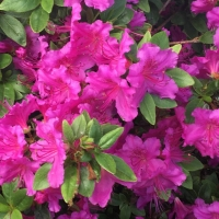 Lila virágú azálea