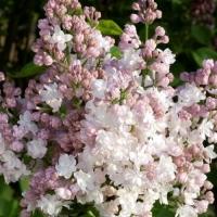 Fehér-rózsaszín virágú orgona